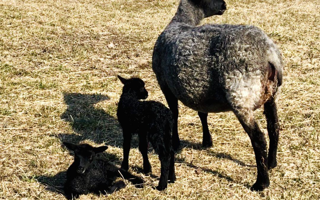 Nyfödda lamm!